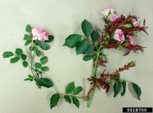 Rose infected with rose rosette disease on the right. Compare to normal rose on left.
