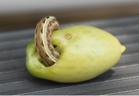 Tomato Fruit Worm