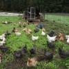 pastured hens