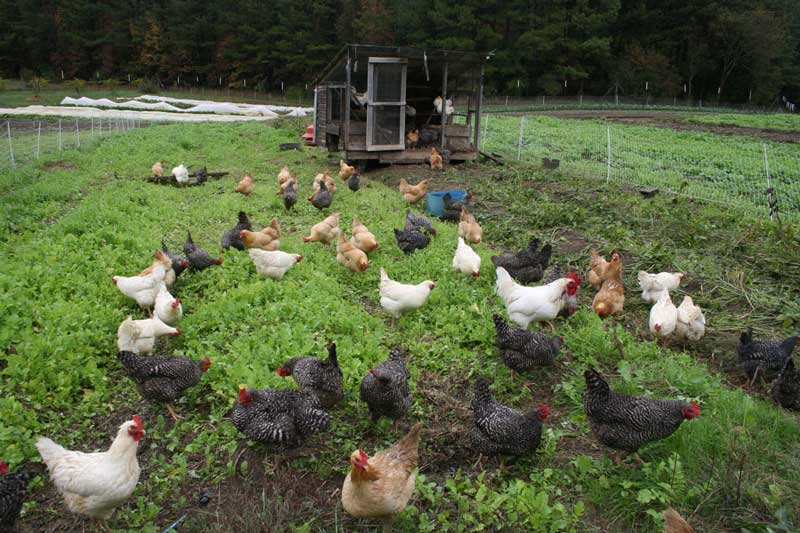 339177415656980338 additionally Organic Poultry Farming moreover Money Minute Farm Lending Advice For Growing Organic further Money Minute Farm Lending Advice For Growing Organic together with Dale Farm Buys Ash Manor Cheese 27365. on growing organic poultry