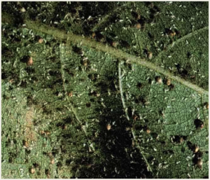 Cotton aphid fungus (black spots).