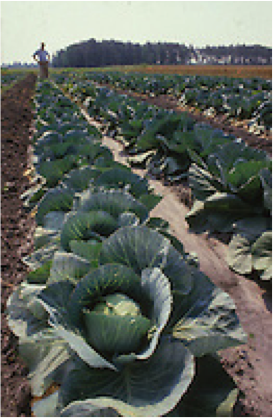 Fall vegetable gardens north carolina cooperative extension for North carolina vegetable gardening