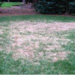 Damage Fescue Lawn