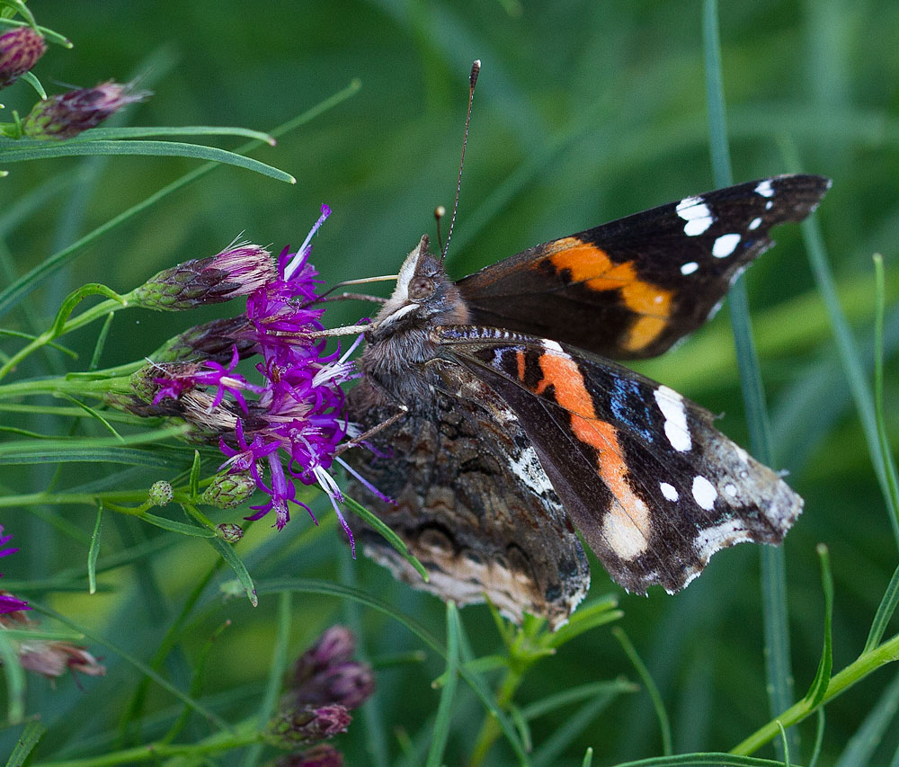 Red admiral on threadleaf ironweed.