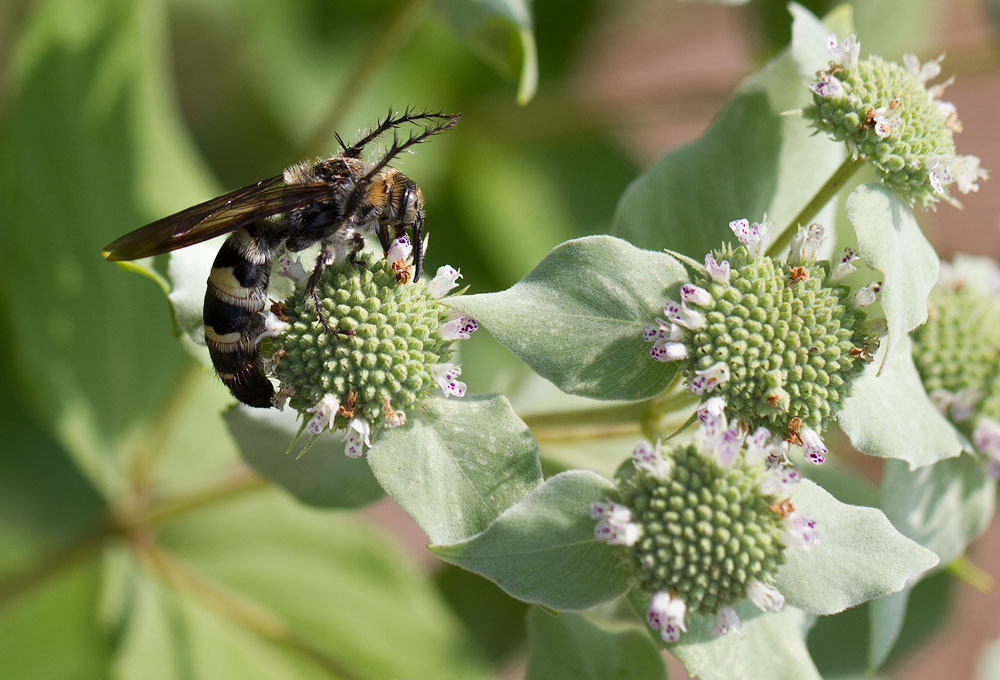 Scoliid wasp foraging on mountain mint.