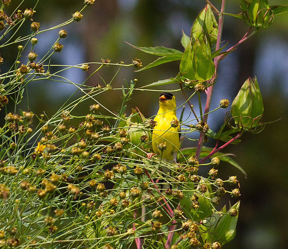 A goldfinch snacks on tall tickseed