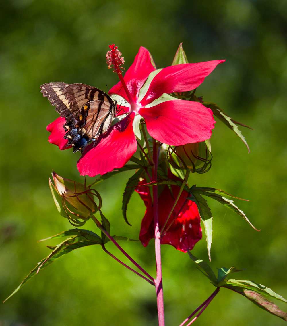Tiger swallowtail on red rose mallow