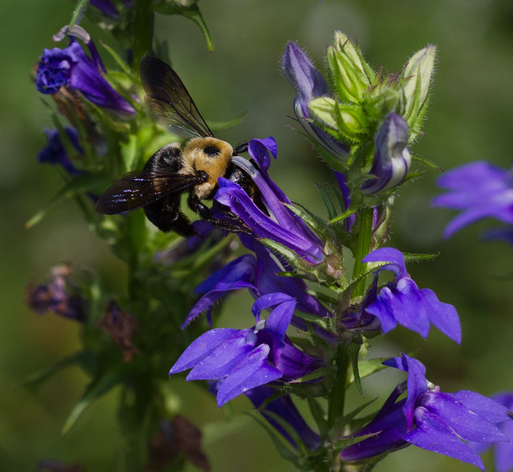 Carpenter bee on great blue lobelia