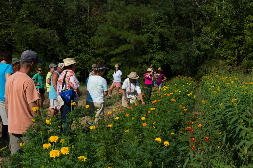 Cathy discusses marigolds and Asclepias.