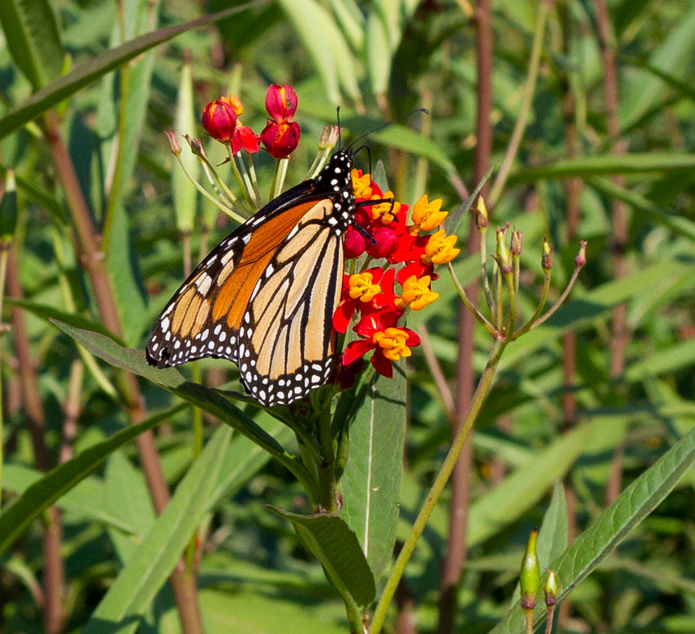 Close-up of monarch on Asclepias.