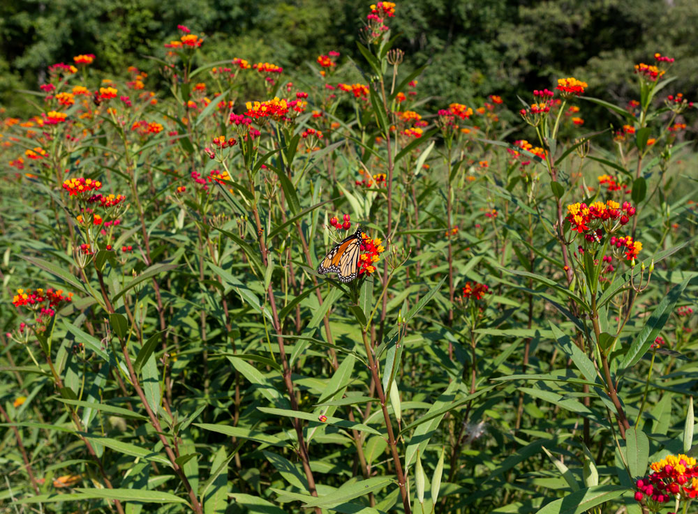 Bed of milkweed (Asclepias) with a visiting monarch butterfly.