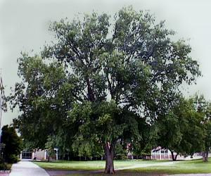 Ulmus-parvifolia-mature