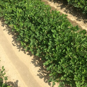 Peanut growing under dry conditions for much of the season