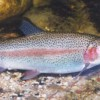rainbowtrout fig2