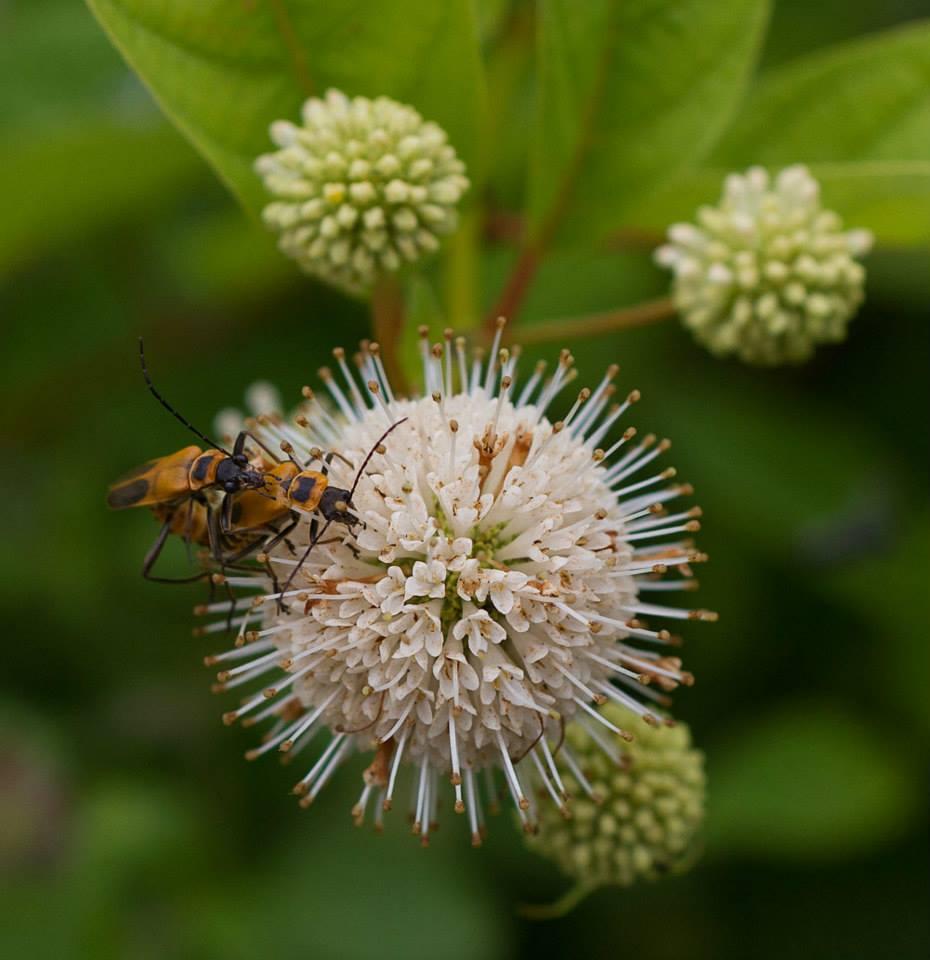 Soldier beetle love on buttonbush