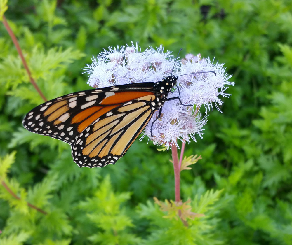 Monarch on ageratum (Conoclinium greggii)
