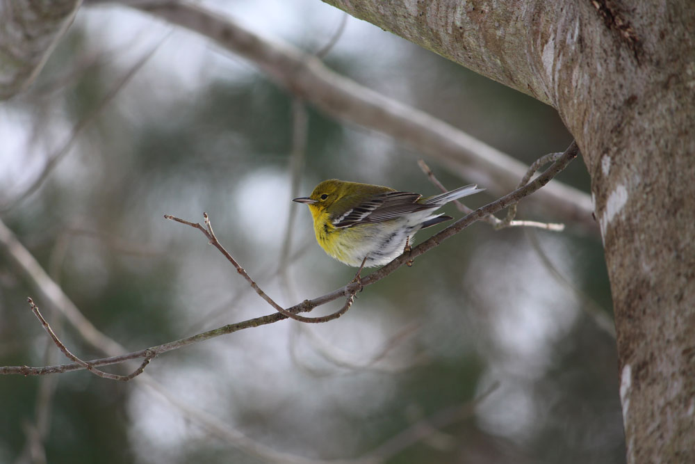 Pine warbler. Photo by Kelly Douglass, NCWRC.