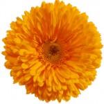 54e99ff8e732a_-_chrysanthemum-de