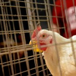 Hen under close scrutiny at FFA poultry evaluations at the State Fairgrounds.