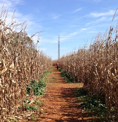 Corn maze at Huckleberry Farm. Photo courtesy of Huckleberry Farm.