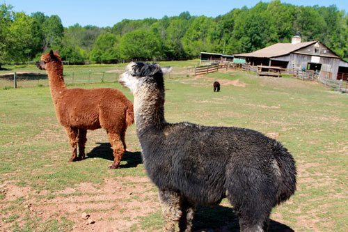 Black Tulip Farms Alpacas in Siler City. Photo by Debbie Roos.