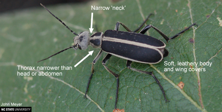 Figure 1. Blister Beetle Identifying Characteristics.