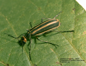 Figure 2. The Striped Blister Beetle  (Epicauta vittata) Clemson Univ. USDA CES