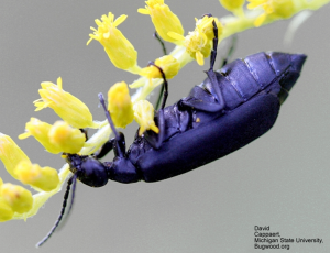 Figure 5. The Black Blister Beetle  (Epicauta pensylvanica) David Cappaert