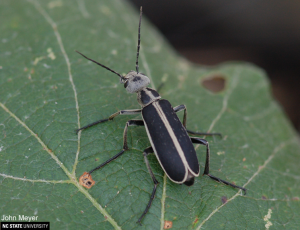 Figure 6. The Margined Blister Beetle  (Epicauta funebris or pestifera) John Meyer