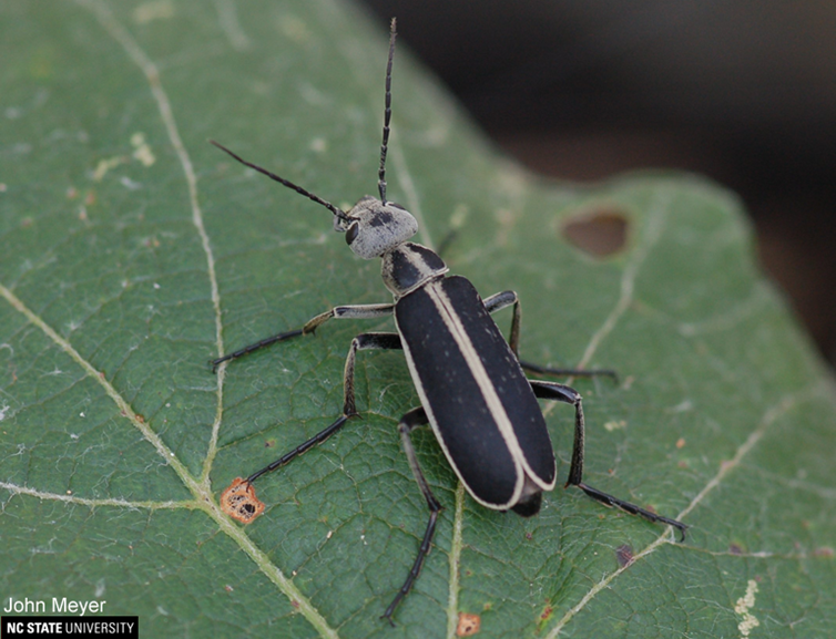 Blister Beetles of Hay and Forages in North Carolina | NC