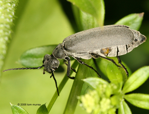 Figure 7. The Ashgray Blister Beetle  (Epicauta fabricii) 2006 Tom Murray