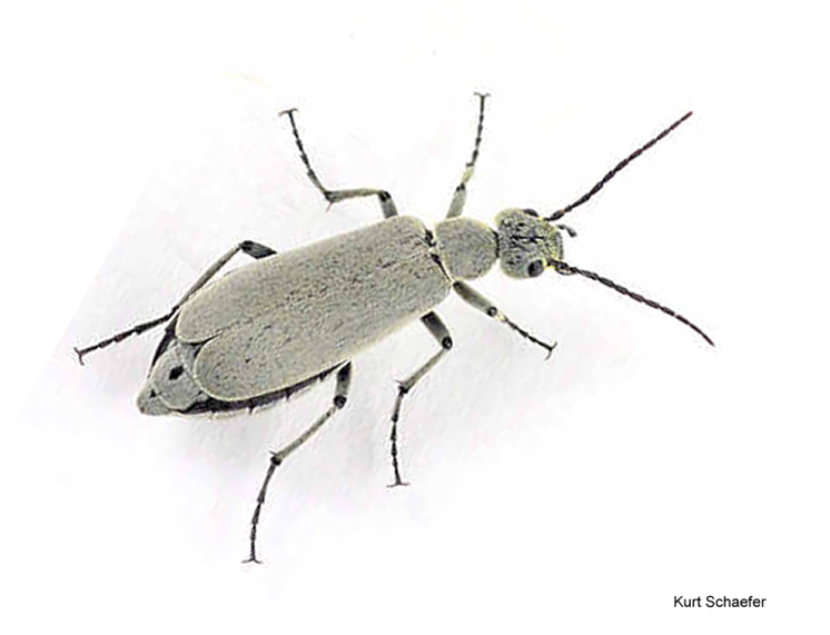 Figure 8. The Obesa Blister Beetle (Epicauta obesa)