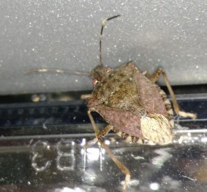 Shorter days and cool temperatures are signaling the brown marmorated stink bugs to look for overwintering sites.