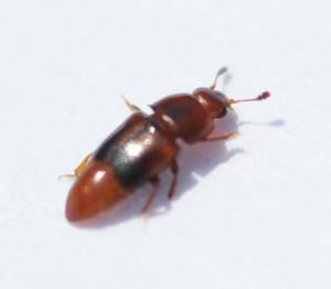 Sap beetle adult
