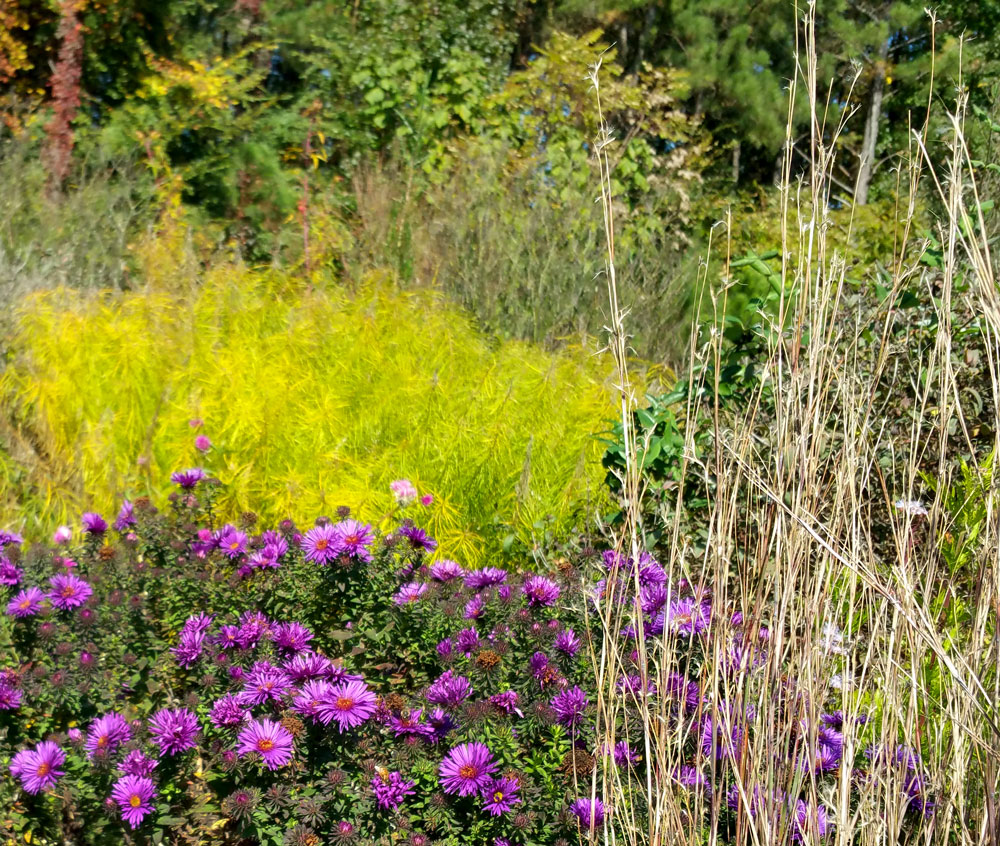 The Purple Dome New England aster looks gorgeous in front of the Amsonia displaying its golden yellow fall color.