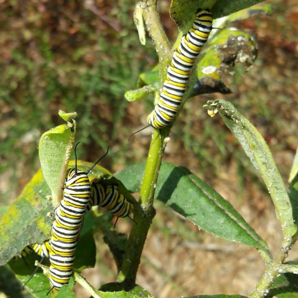Monarch caterpillars on common milkweed