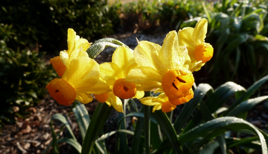 When do i plant spring flowering bulbs north carolina cooperative when do i plant spring flowering bulbs mightylinksfo