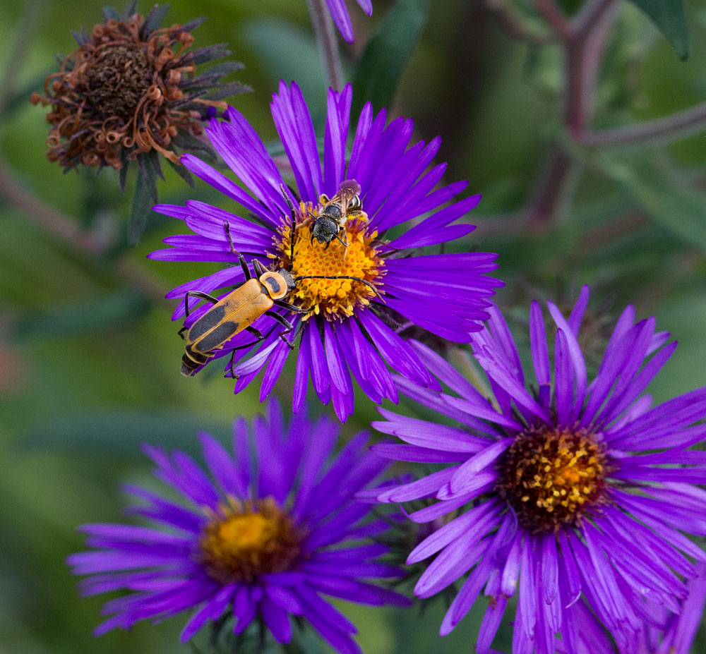 A soldier beetle and a sweat bee meet up on a New York aster bloom