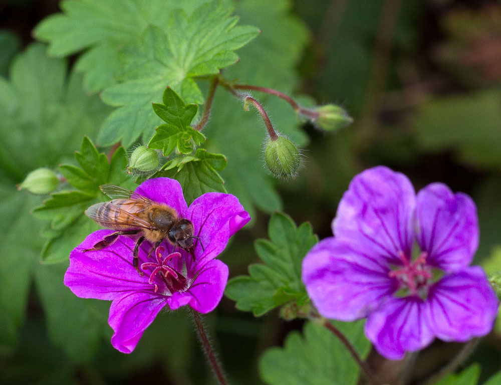 Honey bee on hardy geranium