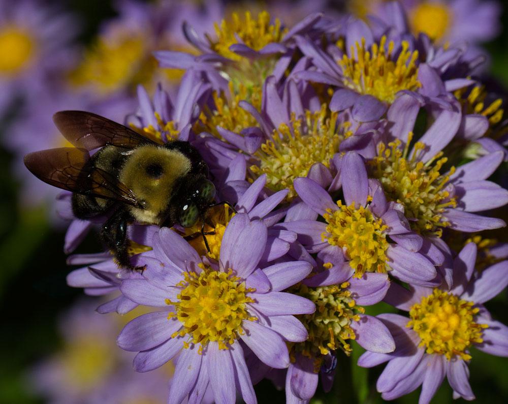 Carpenter bee on Jin Dai aster