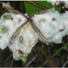 Seed-sprouting-in-cotton-lint-300x201