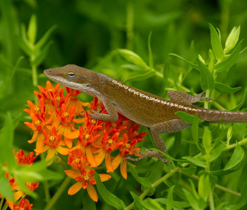 Carolina anole on butterfly weed.