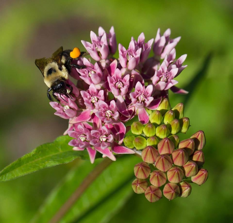 Bumble bee on red milkweed.