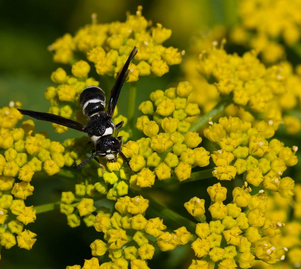 Mason wasp on golden alexander