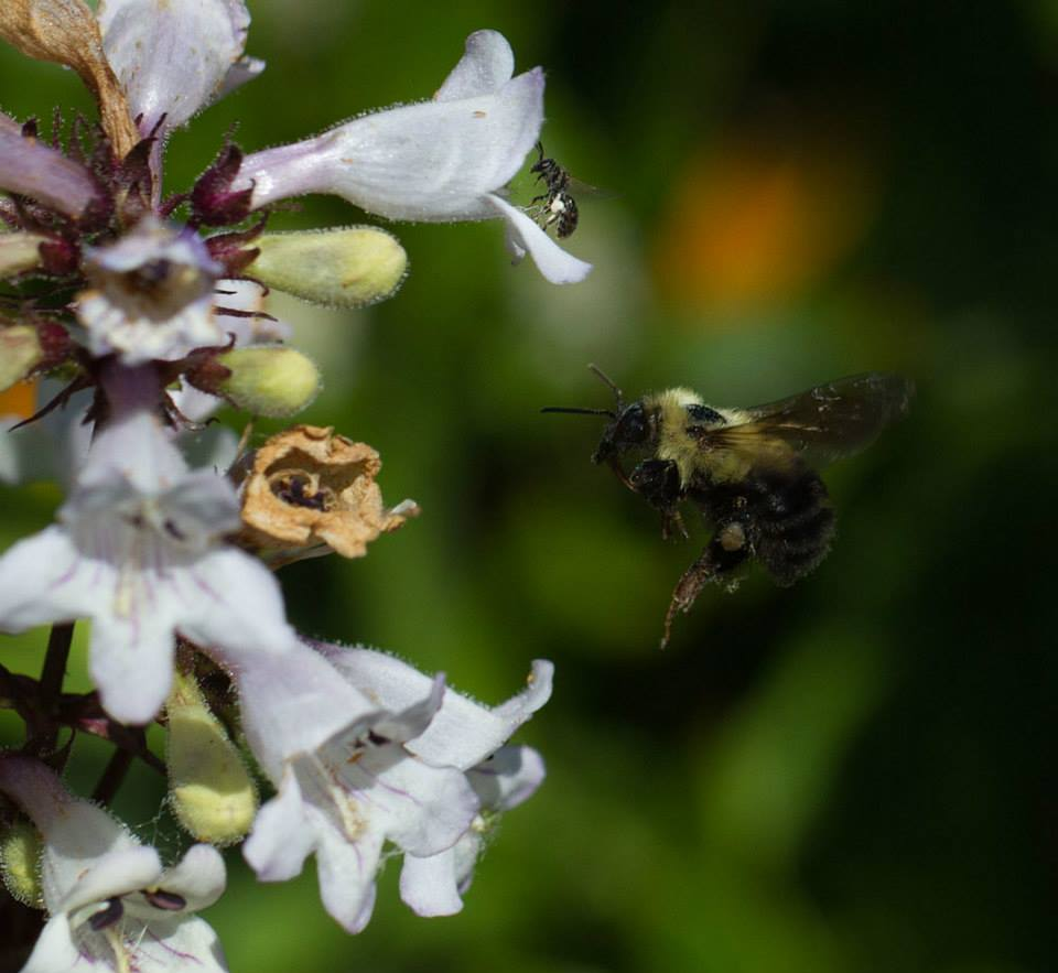 Two bees visiting beard tongue: a small sweat bee up top and a bumble bee in flight.