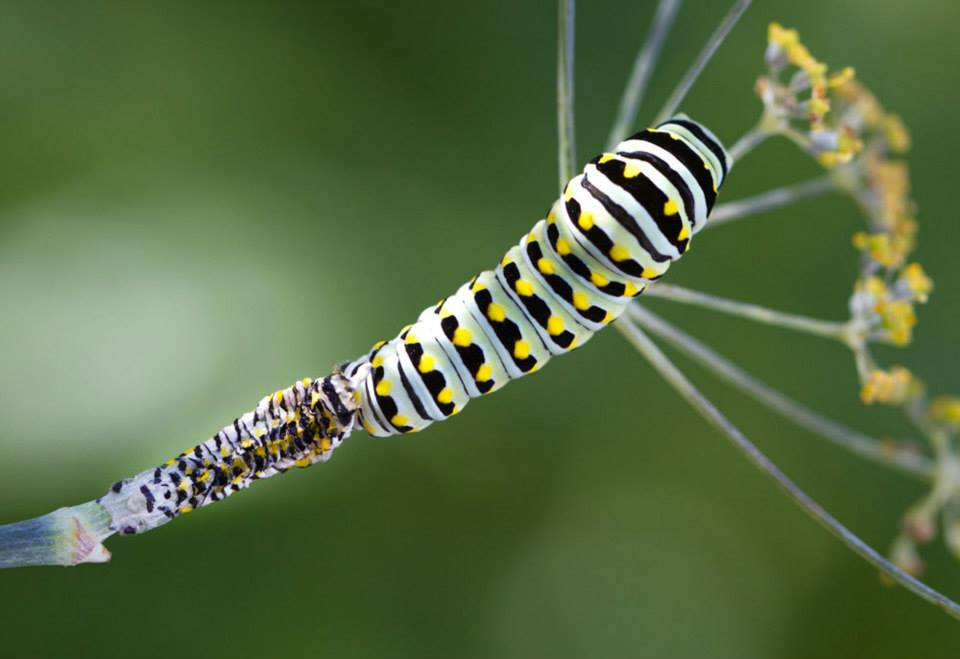 The shed skin right behind the black swallowtail caterpillar on the bronze fennel stem.