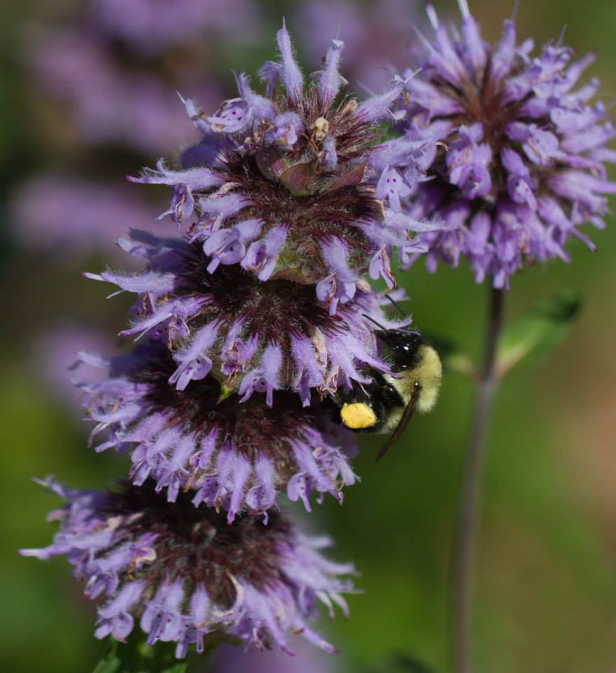 Bumble bee foraging on downy wood mint