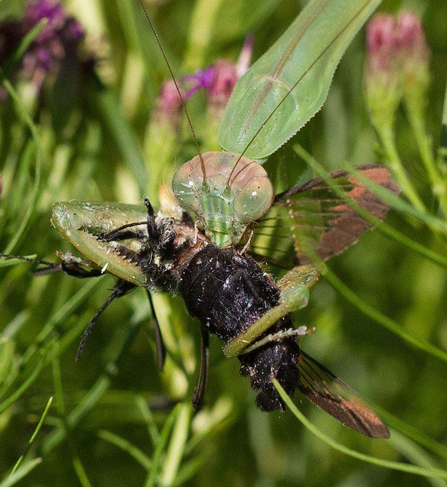 Praying mantis feeds on a hummingbird moth.