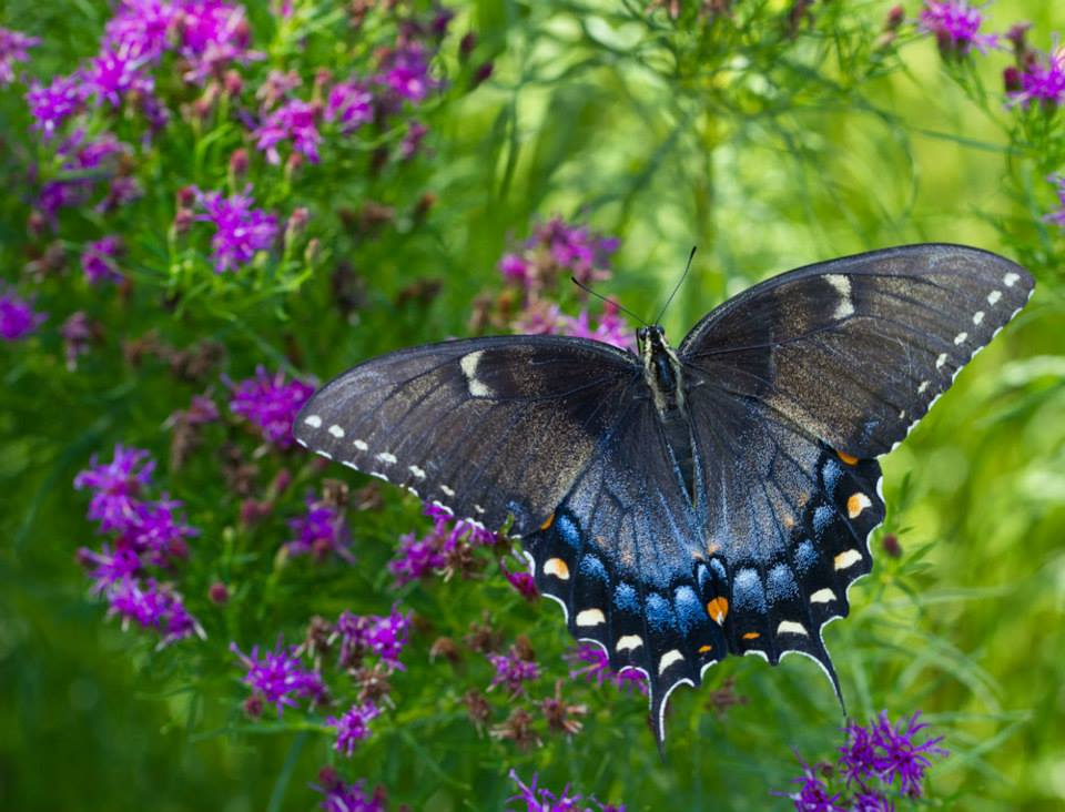 Female tiger swallowtail (black form) on threadleaf ironweed.