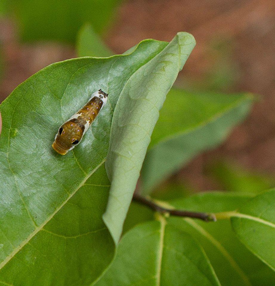 Spicebush swallowtail caterpillar on spicebush.